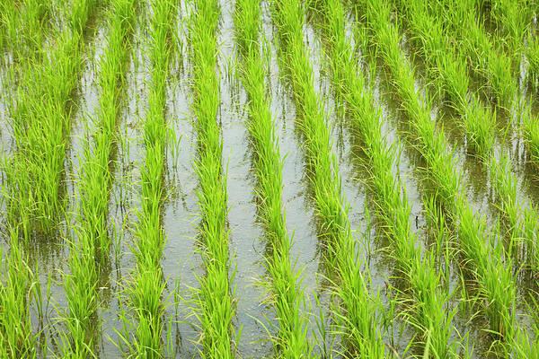 Wall Art - Photograph - Rice Paddy, Near Tan Hoa, Tien Giang by David Wall