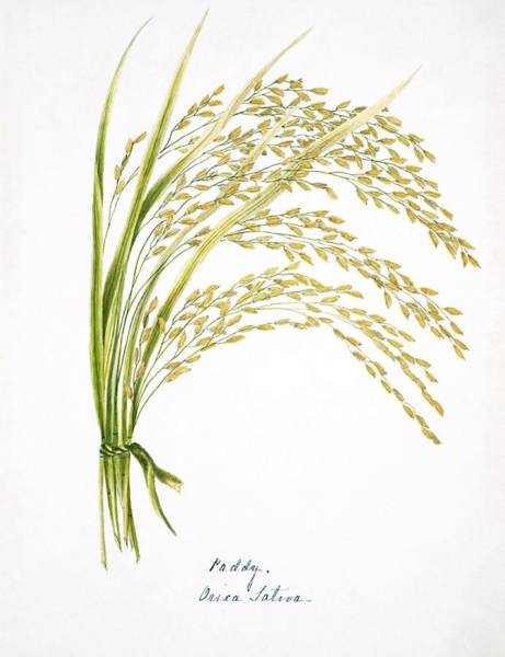 Wall Art - Photograph - Rice Stalks And Flowers by Natural History Museum, London/science Photo Library
