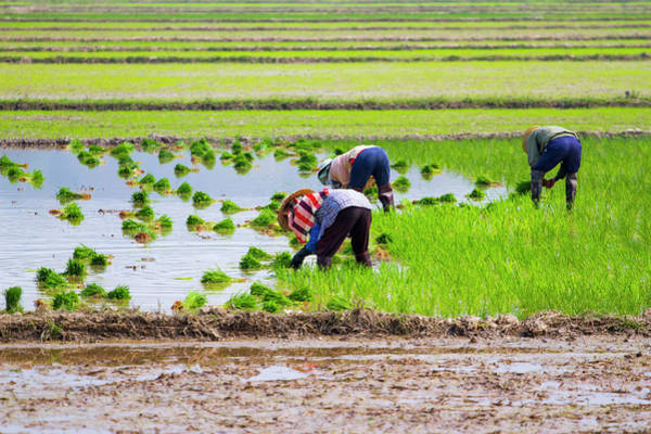 Candid Photograph - Rice Transplanting by Jean-claude Soboul