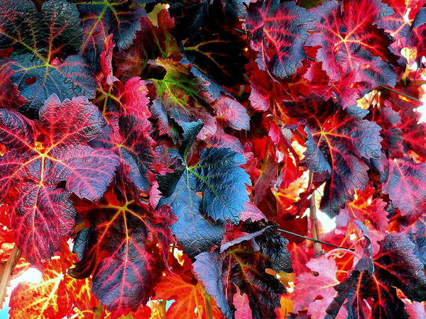 Photograph - Rich Burgundy Red Grape Vine Leaves by Jeff Lowe