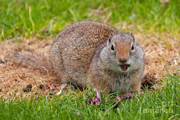 Photograph - Richardson Ground Squirrel by Fred Stearns