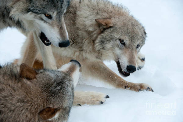 Timberwolves Photograph - Right Of Passage by Sandra Bronstein