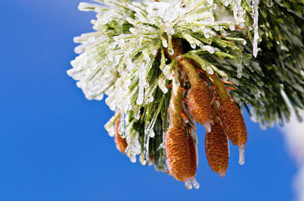 San Bernardino Photograph - Rime Ice On Pine Cones And Needles, San by Russ Bishop