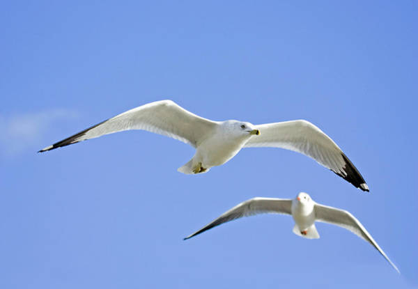 Wall Art - Photograph - Ring Billed Gull And Black-headed Gull by John Devries/science Photo Library