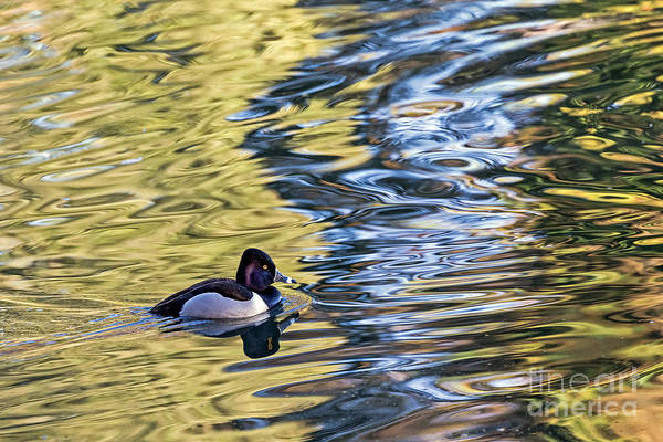 Photograph - Ring-neck Reflections by Kate Brown