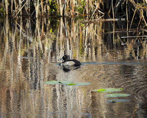 Photograph - Ring Necked Duck by Jack R Perry