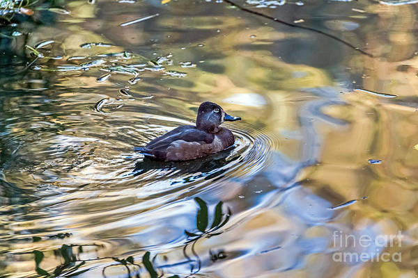 Photograph - Ring-necked Duck by Kate Brown