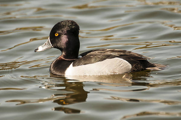 Photograph - Ring-necked Duck by Lee Kirchhevel