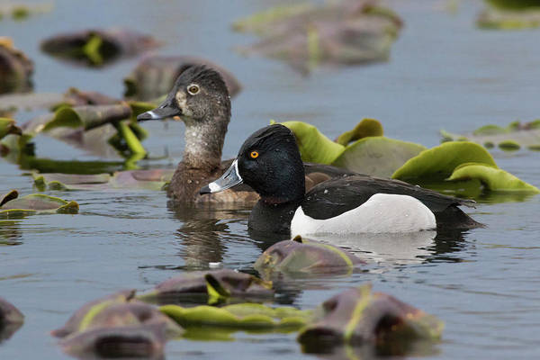 Wall Art - Photograph - Ring-necked Ducks by Ken Archer