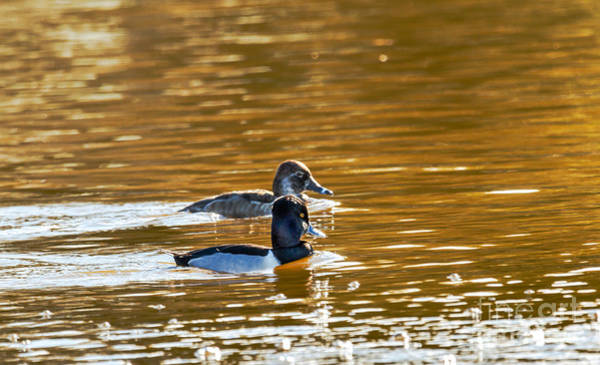 Wall Art - Photograph - Ring-necked Pair by Robert Bales