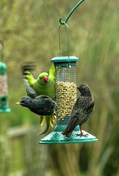 Parakeets Photograph - Ring-necked Parakeet And Starlings On A Bird Feeder by Georgette Douwma/science Photo Library