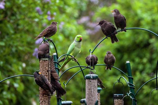 Parakeets Photograph - Ring-necked Parakeet And Starlings On Bird Feeders by Georgette Douwma/science Photo Library