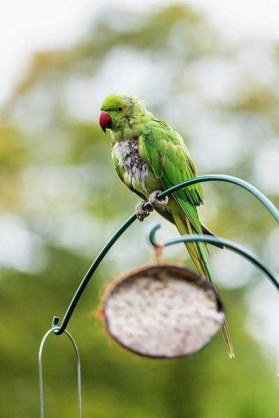 Parakeets Photograph - Ring-necked Parakeet On A Bird Feeder by Georgette Douwma/science Photo Library