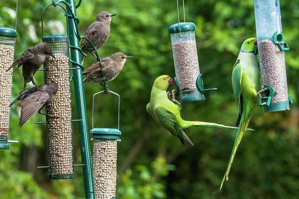 Parakeets Photograph - Ring-necked Parakeets And Starlings On Bird Feeders by Georgette Douwma/science Photo Library