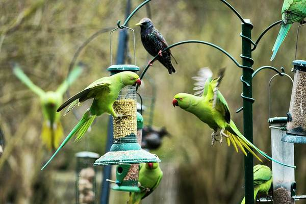 Parakeets Photograph - Ring-necked Parakeets by Georgette Douwma