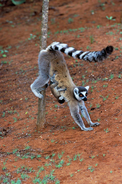 Ring-tailed Wall Art - Photograph - Ring-tailed Lemur And Baby by Tony Camacho/science Photo Library