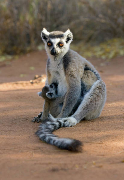 Ring-tailed Wall Art - Photograph - Ring-tailed Lemur And Infant by John Devries/science Photo Library