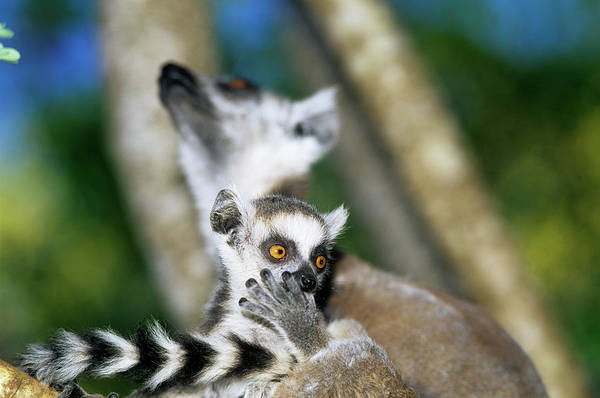 Ring-tailed Wall Art - Photograph - Ring-tailed Lemur Baby by Sinclair Stammers/science Photo Library