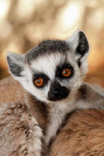 Ring-tailed Wall Art - Photograph - Ring-tailed Lemur Baby by Tony Camacho/science Photo Library