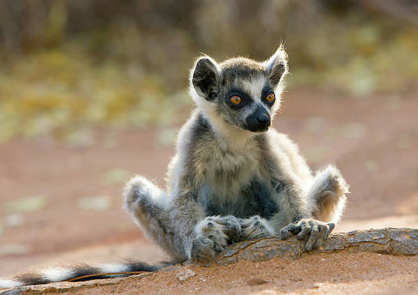 Ring-tailed Wall Art - Photograph - Ring-tailed Lemur Infant by John Devries/science Photo Library