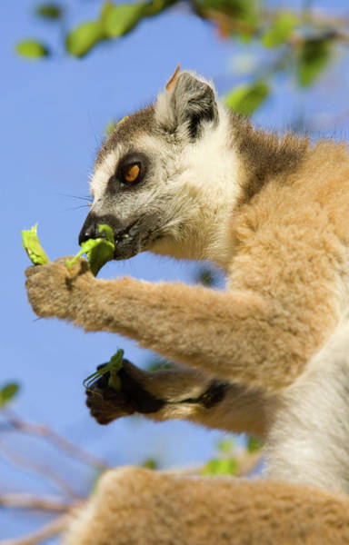 Ring-tailed Wall Art - Photograph - Ring Tailed Lemur by John Devries/science Photo Library