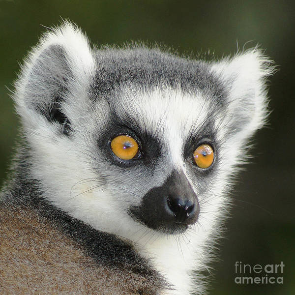 Wall Art - Photograph - ring-tailed lemur Madagascar 5 by Rudi Prott