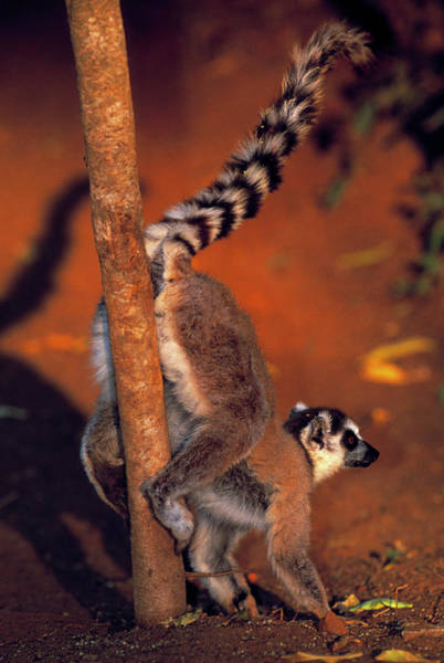 Ring-tailed Wall Art - Photograph - Ring-tailed Lemur Marking Territory by Tony Camacho/science Photo Library