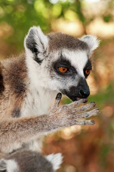 Lemur Photograph - Ring-tailed Lemur Mother by Tony Camacho/science Photo Library
