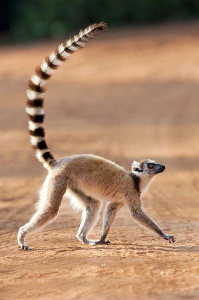 Lemur Photograph - Ring-tailed Lemur by Tony Camacho/science Photo Library