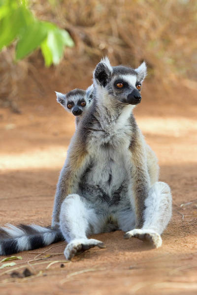 Lemur Photograph - Ring-tailed Lemur With Baby by John Devries/science Photo Library