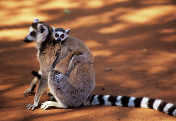 Lemur Photograph - Ring-tailed Lemur With Baby by Sinclair Stammers/science Photo Library