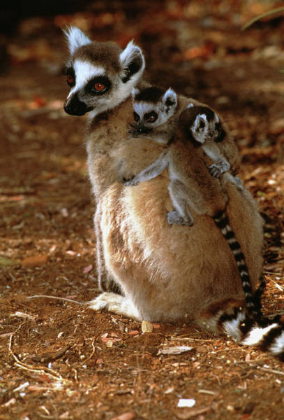 Ring-tailed Wall Art - Photograph - Ring-tailed Lemur With Offspring by Tony Camacho/science Photo Library
