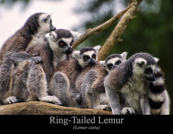 Digital Art - Ring Tailed Lemurs by Chris Flees