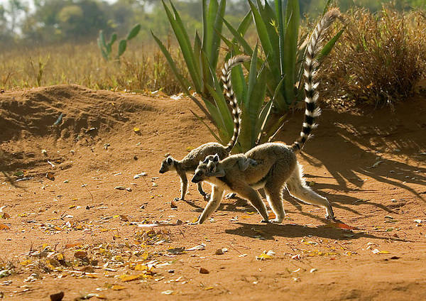 Lemur Photograph - Ring-tailed Lemurs by John Devries/science Photo Library