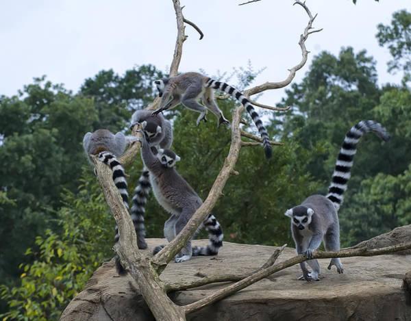 Digital Art - Ring Tailed Lemurs Playing by Chris Flees