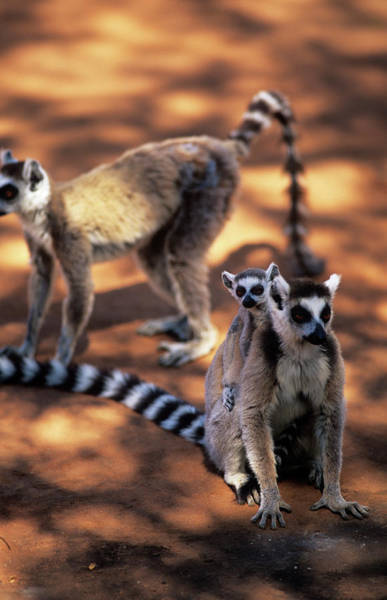 Lemur Photograph - Ring-tailed Lemurs by Sinclair Stammers/science Photo Library