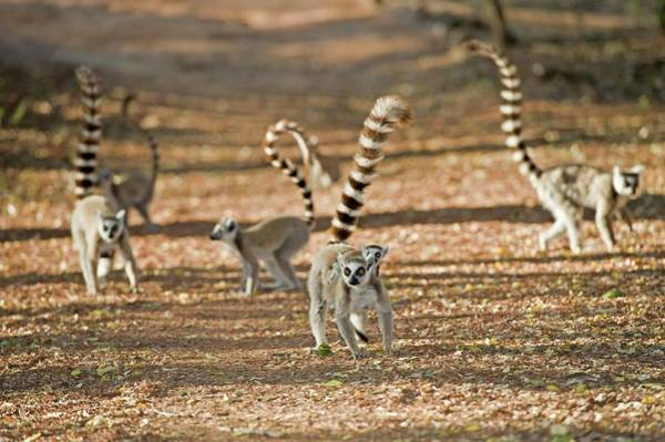 Lemur Photograph - Ring-tailed Lemurs by Tony Camacho/science Photo Library