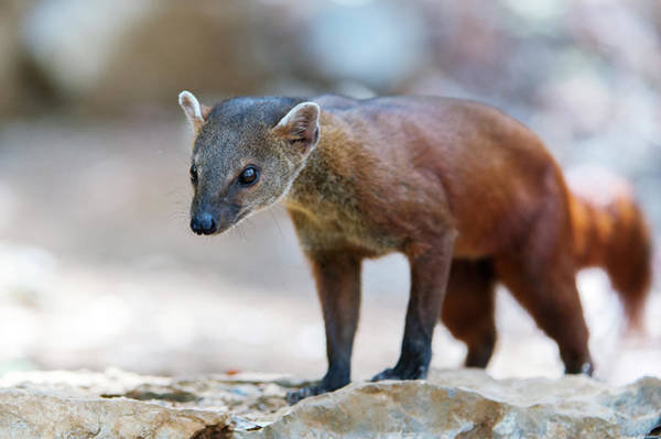 Ring-tailed Wall Art - Photograph - Ring-tailed Mongoose by Dr P. Marazzi