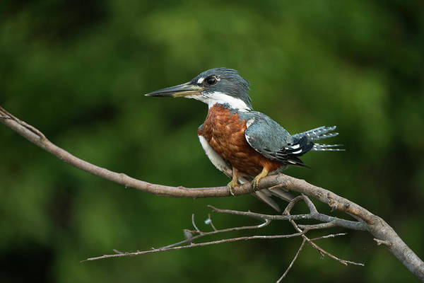 Rufous Photograph - Ringed Kingfisher (megaceryle Torquata by Pete Oxford