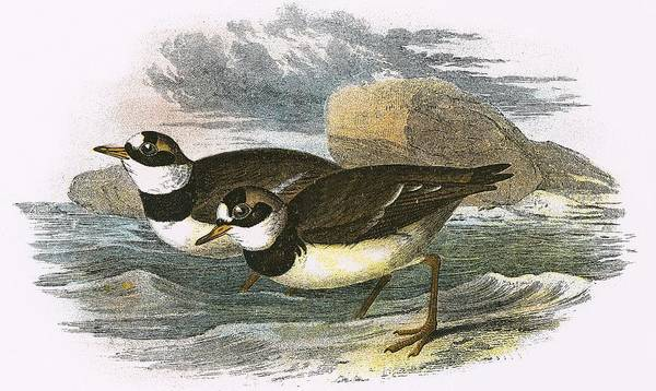 Ornithology Photograph - Ringed Plover by English School