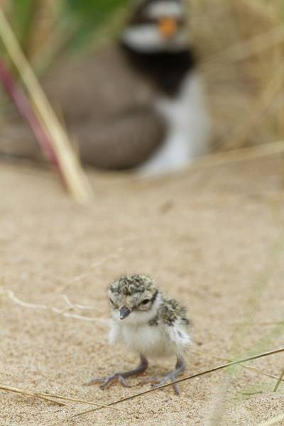Wall Art - Photograph - Ringed Plover Newly Hatched Chick by David Woodfall Images/science Photo Library