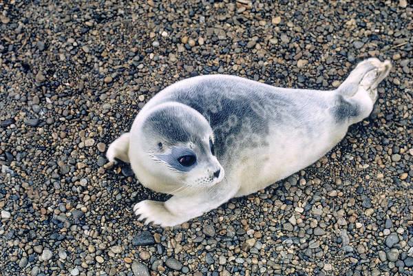 Wall Art - Photograph - Ringed Seal by Carleton Ray