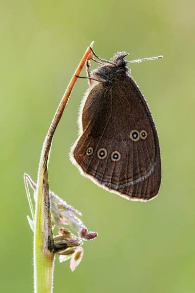 Imago Photograph - Ringlet Butterfly by Heath Mcdonald/science Photo Library