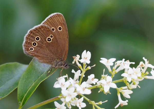 Art Print featuring the photograph Ringlet Butterfly by Paul Gulliver