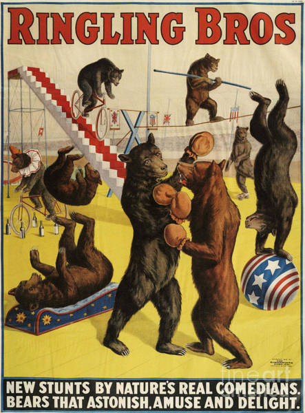 Vintage Poster Wall Art - Drawing - Ringling Bros 1900s Bears Performing by The Advertising Archives