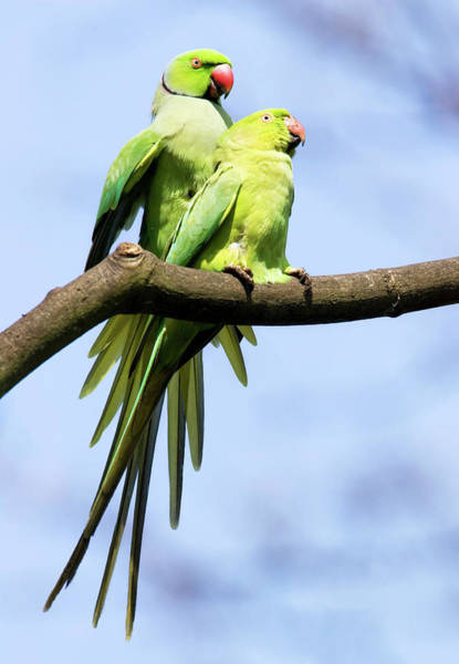 Courtship Display Photograph - Ringnecked Parakeets Mating by John Devries/science Photo Library