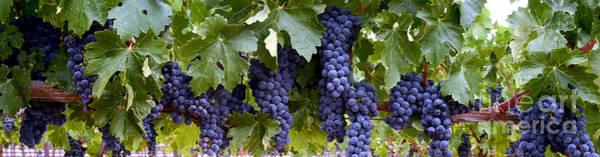 Wine Barrels Photograph - Ripe For The Picking by Jon Neidert