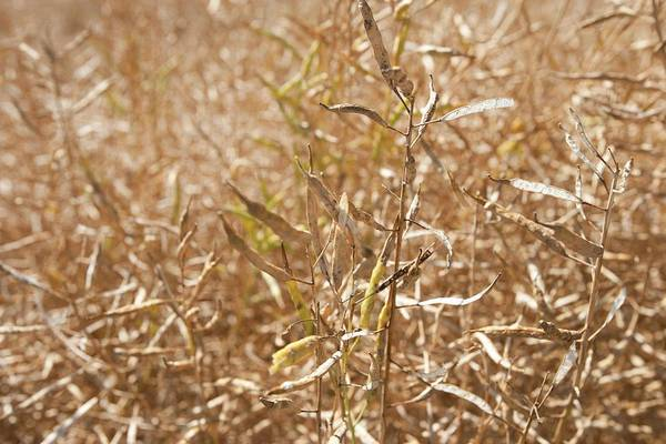 Wall Art - Photograph - Ripe Rapeseed Crop by Lewis Houghton/science Photo Library