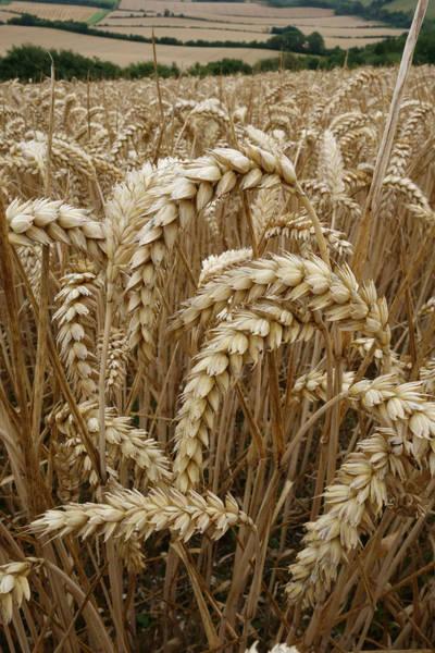 Wall Art - Photograph - Ripe Wheat Ears by Nigel Cattlin