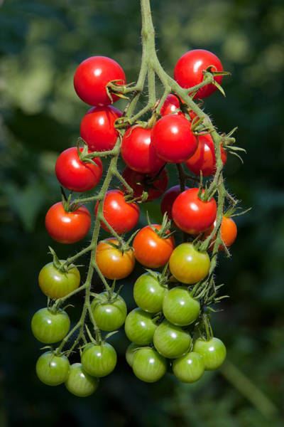 Wall Art - Photograph - Ripening Cherry Tomatoes by E.r. Degginger